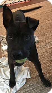 American Pit Bull Terrier Mix Dog for adoption in Cleveland, Ohio - Kyrie