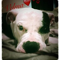 Adopt A Pet :: Velma - Clarksville, TN