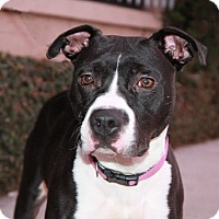 Adopt A Pet :: Harlee - Courtesy post - Culver City, CA