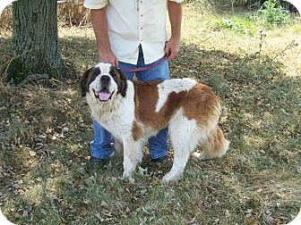 St. Bernard Dog for adoption in Germantown, Maryland - Jewel