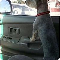 Adopt A Pet :: Winston - Arlington, TX