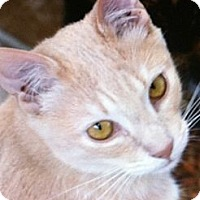 Domestic Shorthair Cat for adoption in Binghamton, New York - Oliver