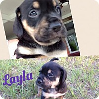 Adopt A Pet :: Layla - Gainesville, FL