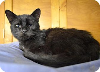 Domestic Shorthair Cat for adoption in Queens, New York - Myra