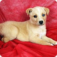 Adopt A Pet :: Dayla Border Aussiehoula - St. Louis, MO