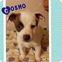 Adopt A Pet :: Cosmo - Brea, CA