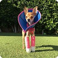 Adopt A Pet :: Gemma Toothpicks *avail soon - Los Angeles, CA