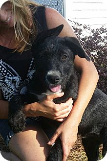German Shepherd Dog/Terrier (Unknown Type, Medium) Mix Puppy for adoption in Biddeford, Maine - Willis