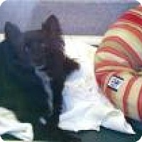 Pomeranian Mix Dog for adoption in Columbus, Georgia - Dizzy 191D