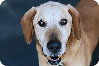 Labrador Retriever Mix Dog for adoption in Cincinnati, Ohio - George