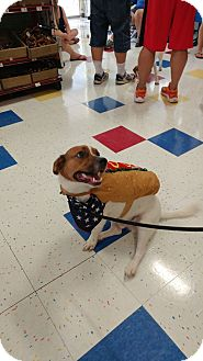 Beagle/Corgi Mix Dog for adoption in Hanover, Pennsylvania - Emmett