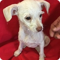Adopt A Pet :: Chloe the Chihuahua - Cat Spring, TX