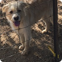 Goldendoodle Mix Puppy for adoption in Powder Springs, Georgia - Sammy