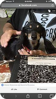Dachshund Dog for adoption in Lehigh, Florida - Jimmy Dean