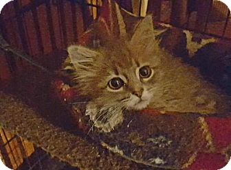 Domestic Mediumhair Cat for adoption in Baltimore, Maryland - Abigail
