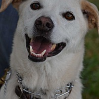 Labrador Retriever Mix Dog for adoption in Altadena, California - Casey