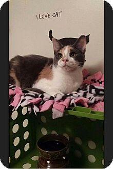 Domestic Shorthair Kitten for adoption in Huntington, Indiana - Cassidy Monroe