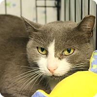 Domestic Shorthair Cat for adoption in Warwick, Rhode Island - Pannini