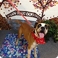 Boxer Dog for adoption in Austin, Texas - Allegiance