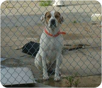 Pointer/American Bulldog Mix Dog for adoption in Hubertus, Wisconsin - Lilly