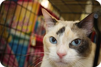 Siamese Cat for adoption in Vero Beach, Florida - Sweetie