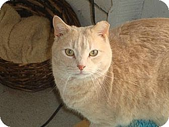 Domestic Shorthair Cat for adoption in Harrisburg, Pennsylvania - SHIMMER