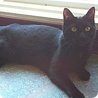 Domestic Shorthair Cat for adoption in Topeka, Kansas - Halo