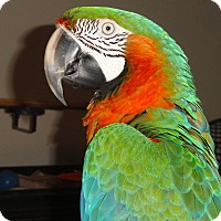 Adopt A Pet :: Rembrandt's Harlequin Macaw - Vancouver, WA