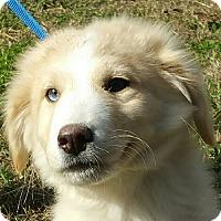 Adopt A Pet :: Zuzu - Allentown, PA