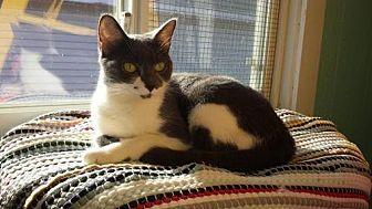 Domestic Shorthair Cat for adoption in Iroquois, Illinois - Destiny
