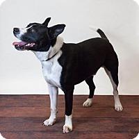 Adopt A Pet :: Boris-Diamond Dog $75 Adoption Fee - Rockwall, TX