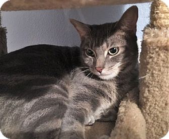Manx Cat for adoption in North Highlands, California - Darius