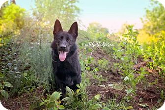 Shepherd (Unknown Type) Dog for adoption in Keswick, Ontario - Moe- RESCUE ONLY