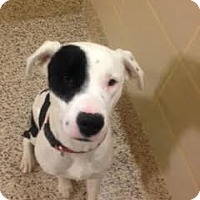 American Bulldog/Retriever (Unknown Type) Mix Dog for adoption in Aiken, South Carolina - Billy Rascal