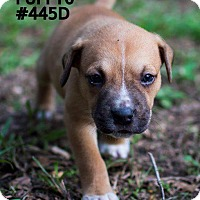 Boxer/Labrador Retriever Mix Puppy for adoption in Spring, Texas - Charlie