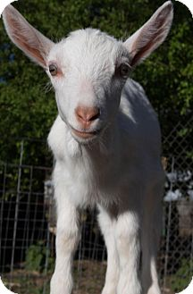 Goat for adoption in Maple Valley, Washington - Pip