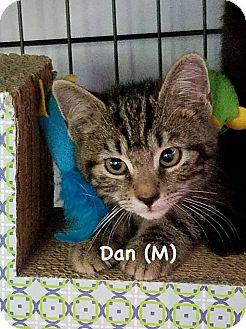 Domestic Shorthair Kitten for adoption in West Orange, New Jersey - Dan