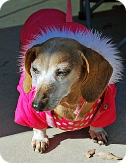 Dachshund Dog for adoption in Madison, Alabama - Lily