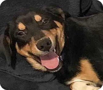 Rottweiler/Hound (Unknown Type) Mix Puppy for adoption in Boston, Massachusetts - Robbie