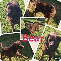 Adopt A Pet :: Bear - hollywood, FL
