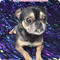 Adopt A Pet :: Chammy - Batesville, AR
