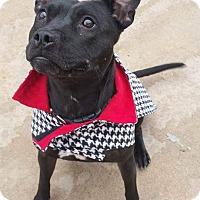 Adopt A Pet :: Leila - Wichita, KS