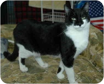 Domestic Shorthair Cat for adoption in Pendleton, Oregon - Tootsie