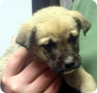 German Shepherd Dog Mix Puppy for adoption in baltimore, Maryland - Littlefoot