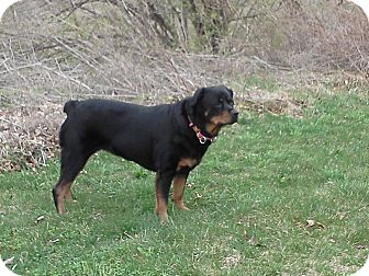 Rottweiler Dog for adoption in Sinking Spring, Pennsylvania - Chaka