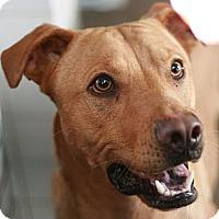 Adopt A Pet :: Shannon - Canoga Park, CA