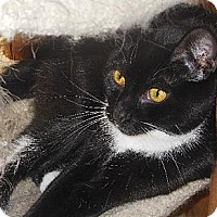 Domestic Shorthair Cat for adoption in Richmond, Virginia - Mozart