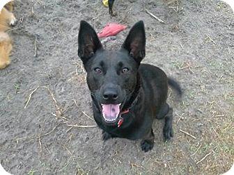 Shepherd (Unknown Type) Mix Dog for adoption in Royal Palm Beach, Florida - Milagro