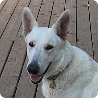 Adopt A Pet :: Sheena - Dripping Springs, TX