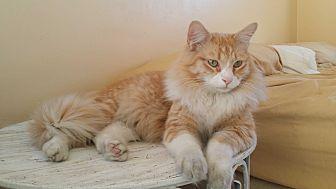 Domestic Mediumhair Cat for adoption in San Fernando Valley, California - Prince William
